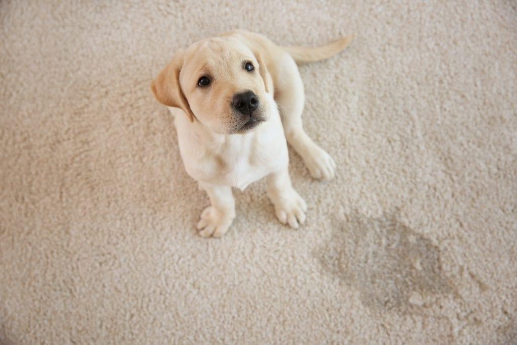 Pet Urine & Feces Carpet Cleaning Services